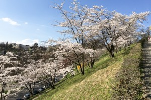 swissjoho_sakura_report_20170328-0846_6